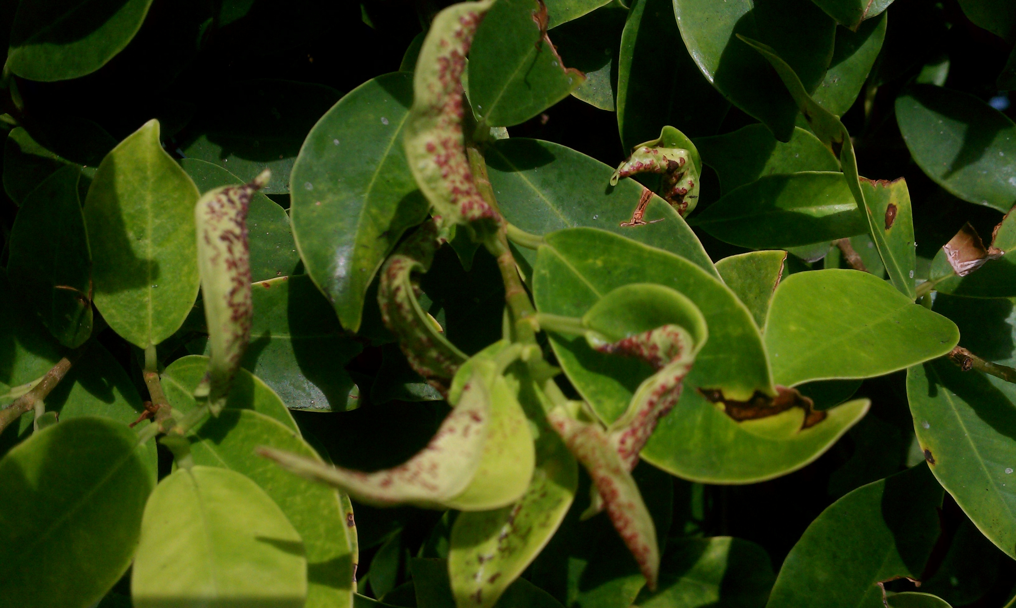 A Ficus Pest That Isn't Whitefly: Weeping Ficus Thrips