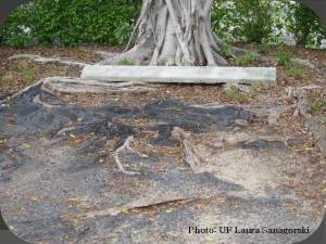 Conflict between root sand hardscapes is common in urban areas. Root barriers may be a solution. Photo: UF Laura Sanagorski